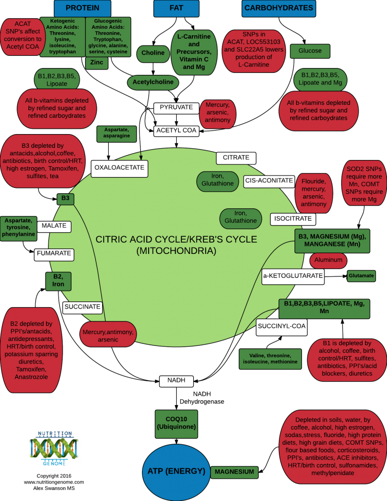 Citric Acid Cycle_Krebs Cycle