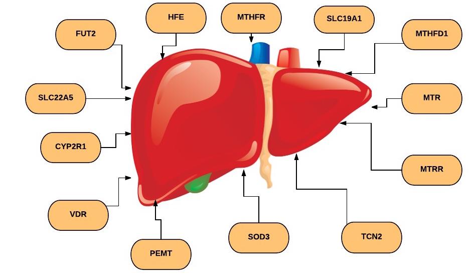 1 Fatty Liver Diagram Page 1