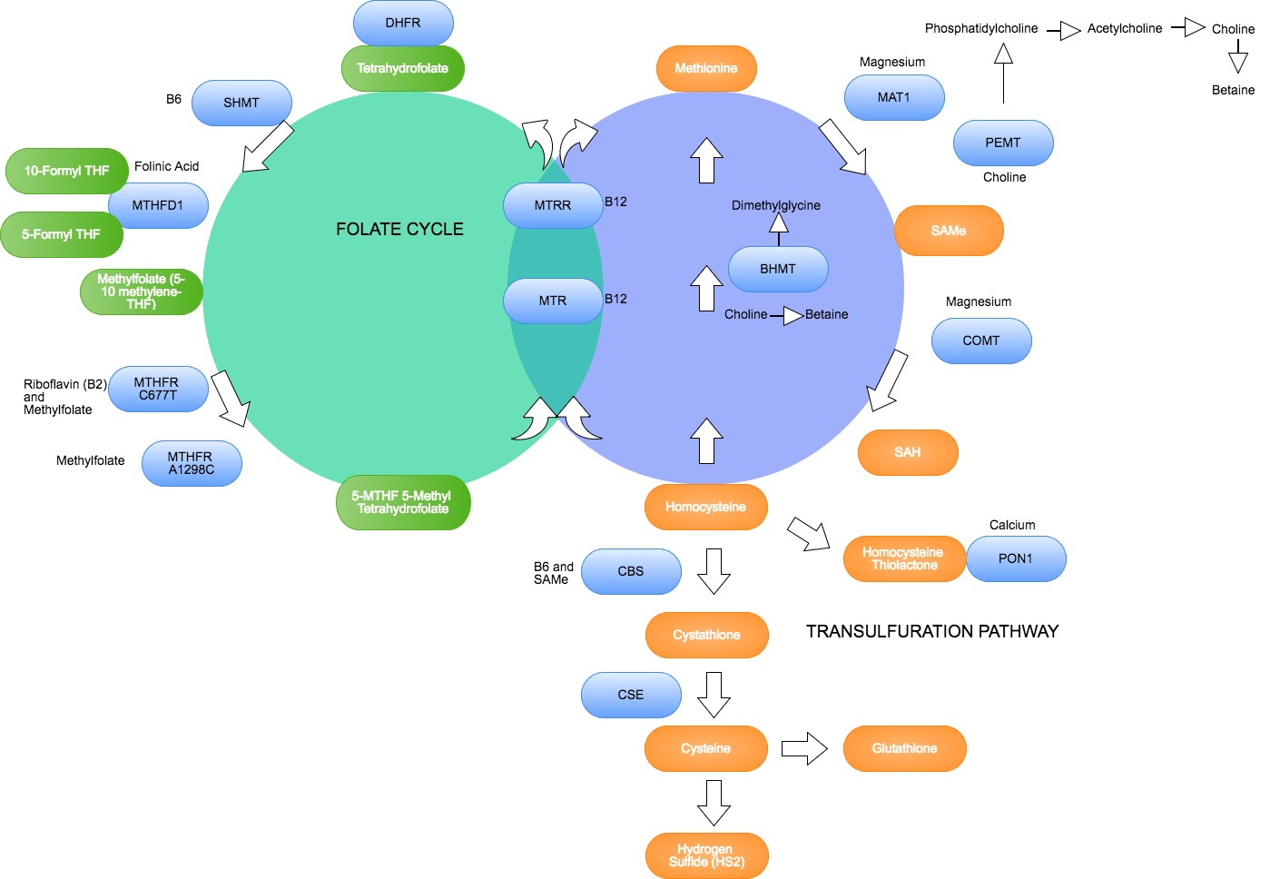 Methylation cycle